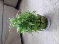 Used Mini  bamboo plant in Dubai, UAE