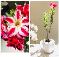 Used Desert Rose and Ficus in Dubai, UAE