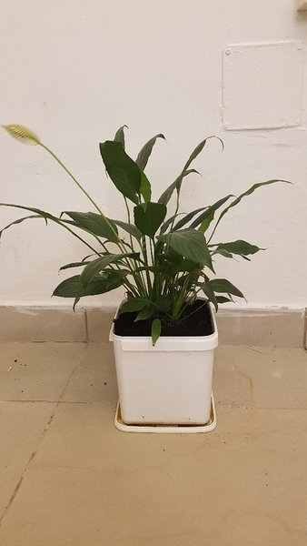 Used Indoor flower plant in Dubai, UAE