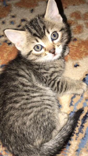 Used Cat for sale in Dubai, UAE