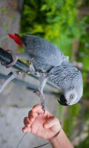 Used Africa  grey parrot for sale in Dubai, UAE