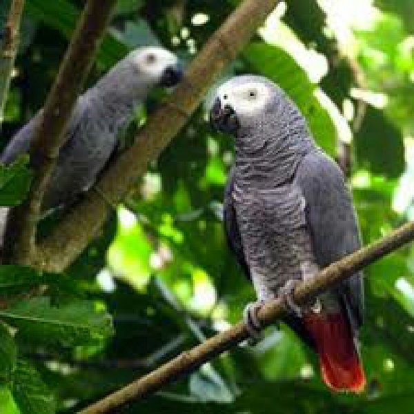 Cameroon parrots for sale male n female, p250467 - Melltoo com
