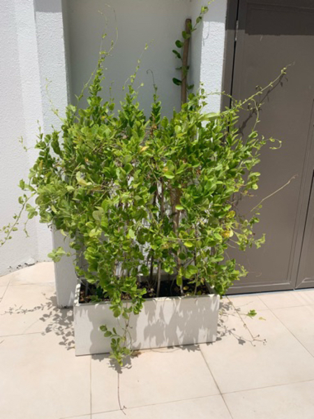 Used Outdoor plants with rectangular pot in Dubai, UAE