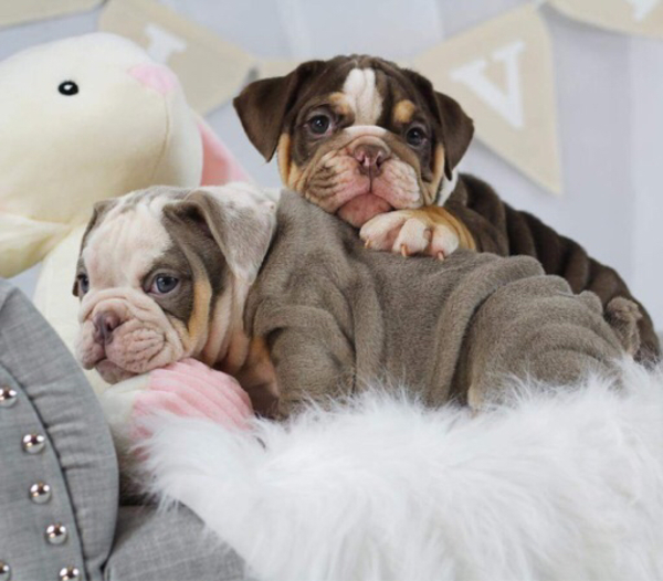 Used English bulldog puppies in Dubai, UAE