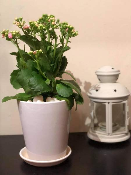 Used Kalanchoe Indoor Plant in Dubai, UAE