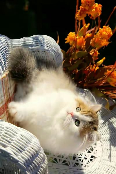 Used Persian kittens for sale in Dubai, UAE