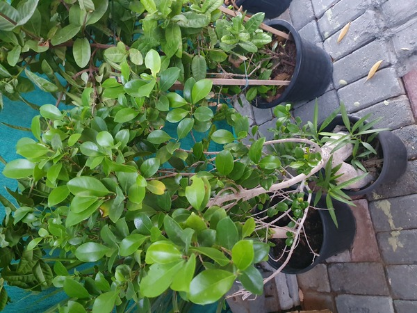 Used Plants & flowers in Dubai, UAE