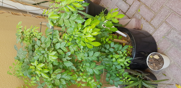 Used Thai jasmine in Dubai, UAE