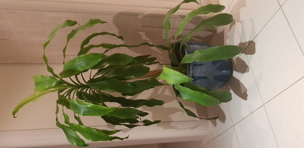 Used Home plants- 2 large ones in Dubai, UAE