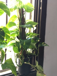 Used Golden Pothos/Money Plant in Moss Stick in Dubai, UAE