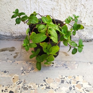 Used Organic Mint Plant in Dubai, UAE