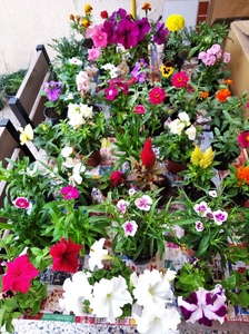 Used 20 Nos Flower Plants with pots in Dubai, UAE