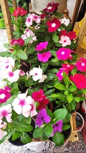 Used 20Nos Live Flower Plants with Pot in Dubai, UAE